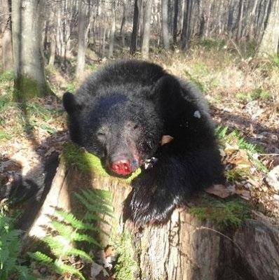Maryland's first day of black bear hunting season yields 41 bears