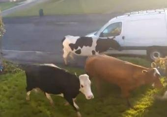 Cows wander through neighborhood