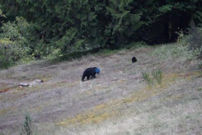Blue-headed bear baffles beside British Columbia road