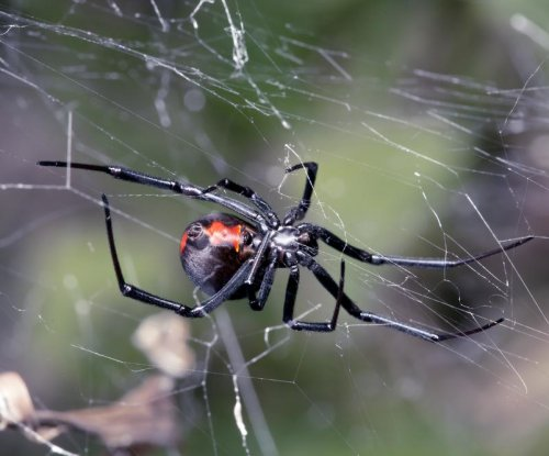 Australian man's penis bitten by spider for the second time