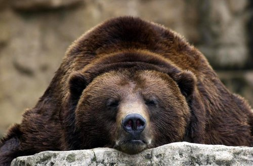 Conservationists push to triple America's grizzly bear population