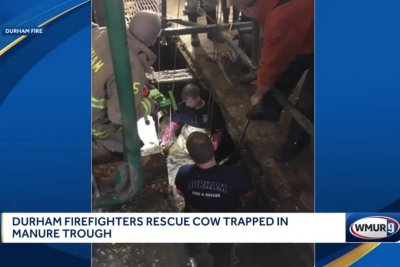 Watch:-Cow-rescued-after-falling-into-manure-trough
