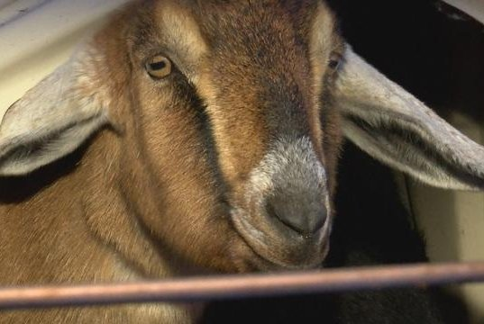 Look: Goat named mayor of Vermont town - UPI com