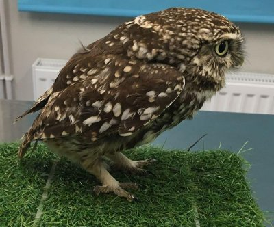 Rescued owl found to be too obese to fly