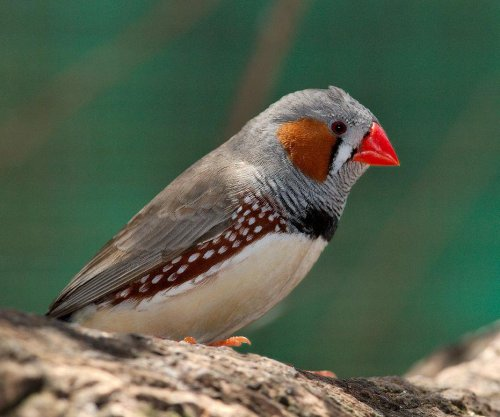 Birds slur their words when they're drunk