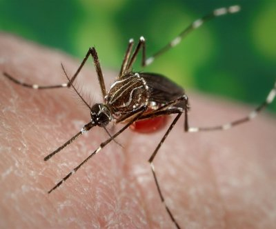 Artificially infecting mosquitoes could cut spread of dengue