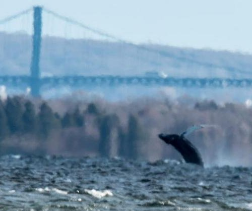 Humpback whale visits Narragansett Bay