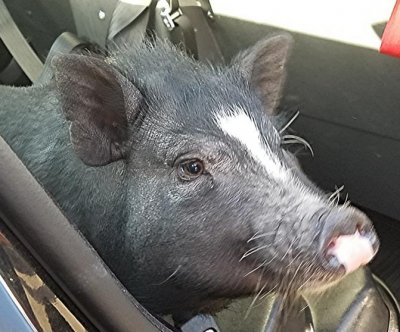 Oregon police briefly adopt loose pig as 'official mascot'