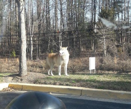 'Wolf-like' dog captured by Maryland police