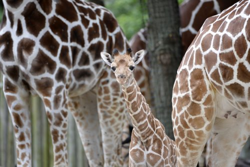 Giraffe at Jyllands Park Zoo, Denmark, gets reprieve