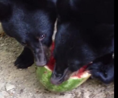 Black bear cubs share watermelon that fell from New Jersey woman's deck