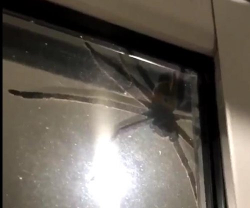 Man holds up cat to scare massive Australian spider