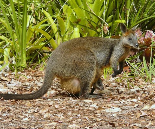 Swamp wallaby never stops being pregnant