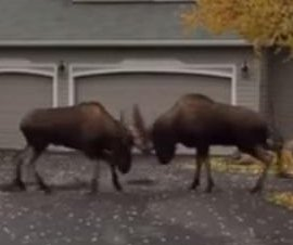 Rutting bull moose fight on residential Anchorage street
