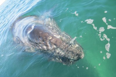 Gray whales from California could help save their Russian cousins