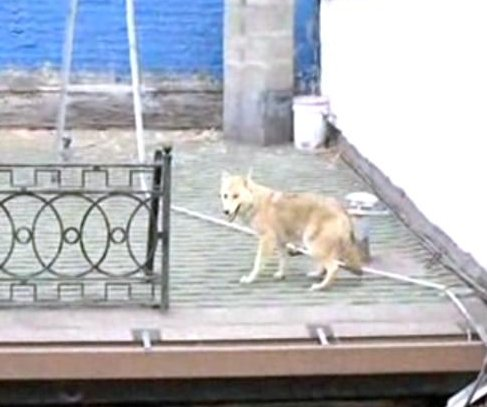 Coyote seen wandering roof of New York bar