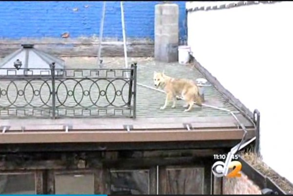 Watch Coyote Visits New York Bar S Rooftop Upi Com