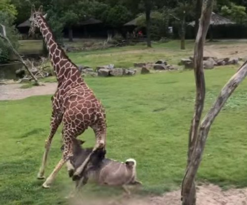 Zookeepers baffled by antelope's attack on giraffe