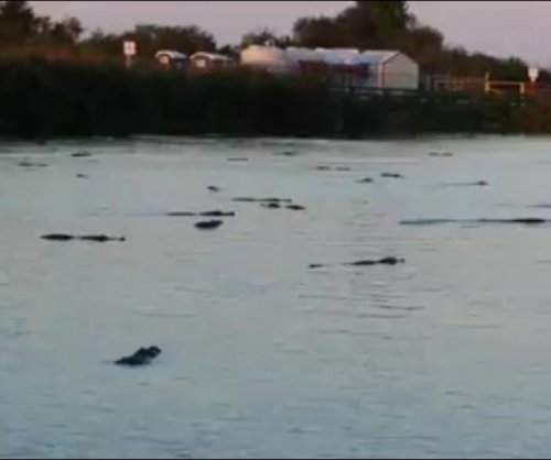 Video shows Florida lake swarming with alligators