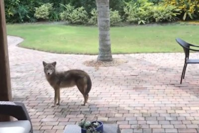 Coyote wanders into Florida yard, spots cat through glass door