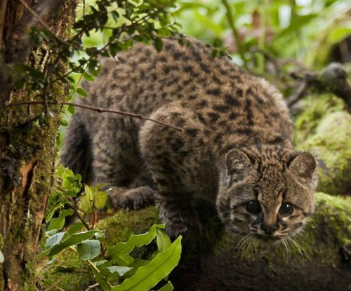 Vulnerable Chilean cat's main threat is habitat fragmentation