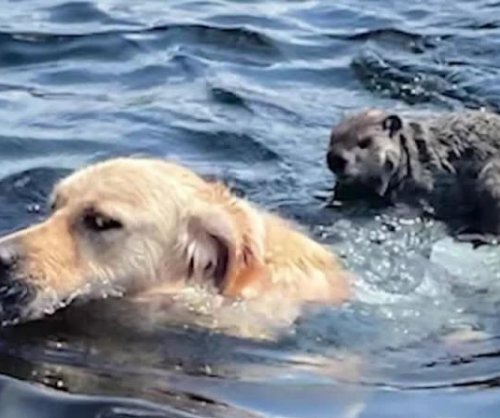 Golden retriever gives woodchuck a ride to shore in Massachusetts lake