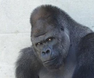 'Handsome' gorilla delights female zoo-goers in Japan