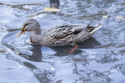 Unusual personals ad leads to date for 'lonesome' duck