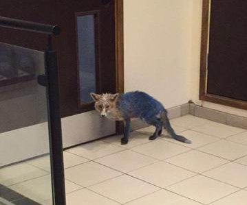 Blue colored fox photographed at London hotel