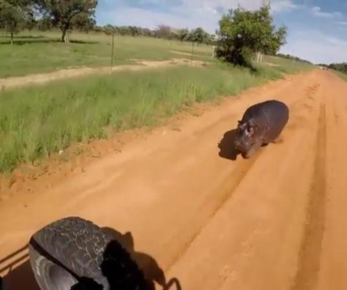 Territorial hippo charges car on South African road