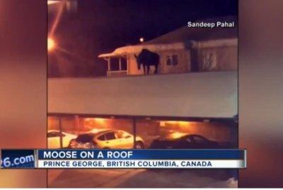 Moose caught on camera on carport roof