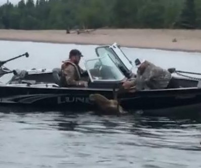 Anglers rescue drowning moose in Lake Superior