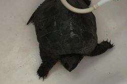 North American snapping turtle found living behind British supermarket