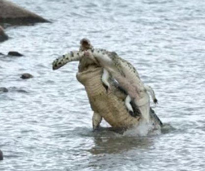 Cannibal crocodile caught on camera