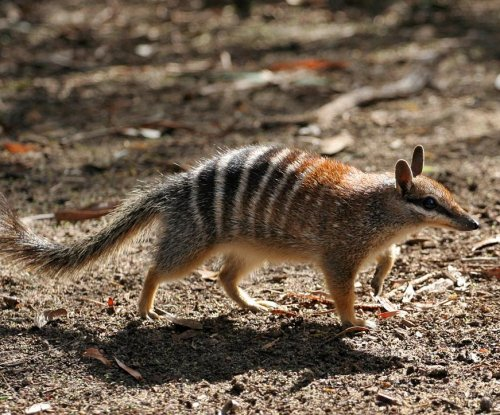 Feral cats, foxes hunting Australian mammals to brink of extinction