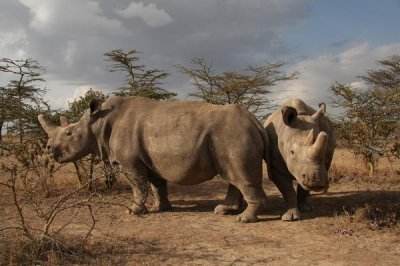 Fertility experts aim to help save northern white rhinos from extinction
