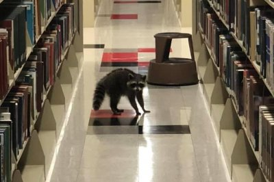 Raccoons invade Arkansas State University library