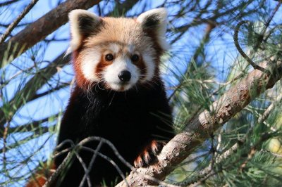 Zoo searching for escaped red panda in France