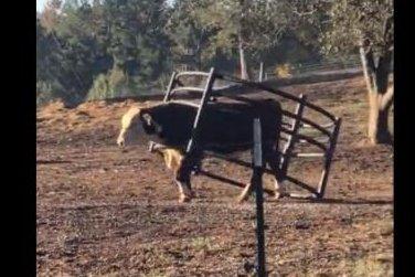 Watch:-Bull-walks-around-with-hay-ring-stuck-on-neck