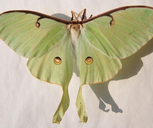 Lengthy tails of luna moths deflect bat attacks