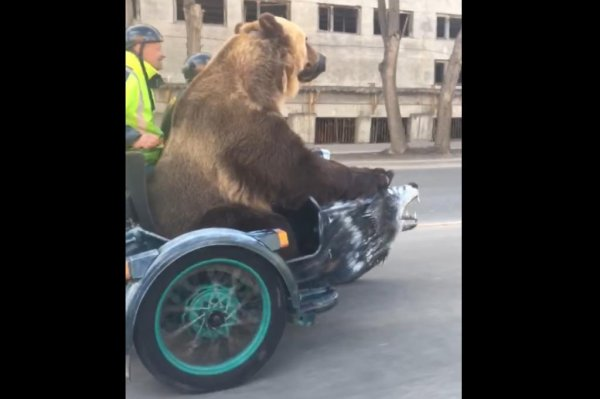 Watch Bear Taken For A Motorcycle Ride In Russia Upi Com