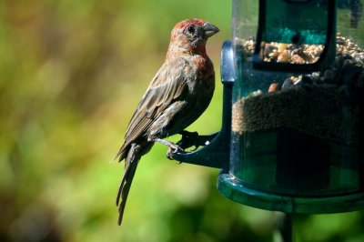 Songbirds may avoid obesity by regulating energy use