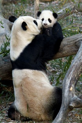 Pandas mate with help at the National Zoo