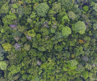 Ancient long-lived pioneer trees store majority of carbon in tropical forests