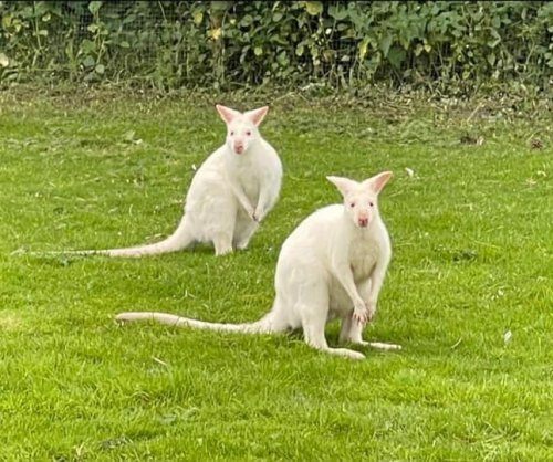 Two albino wallabies escape from sanctuary in England