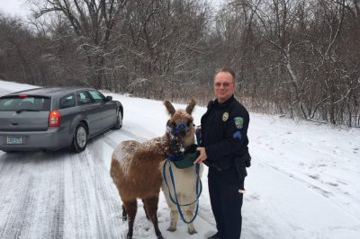 Two llamas found wandering icy Minnesota roads