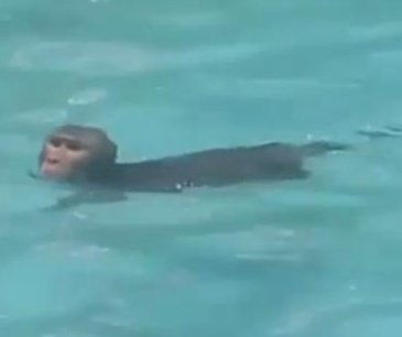 Wild monkey makes regular visits to public pool