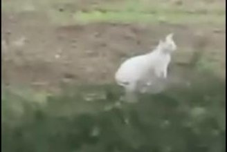 Watch:-British-farmer-spots-white-wallaby-on-the-loose
