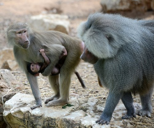 Study finds baboon friends regularly swap gut germs
