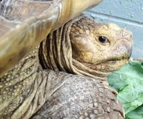Speedy 100-pound tortoise captured in Virginia road